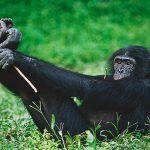 ¿Dónde vive el bonobo?
