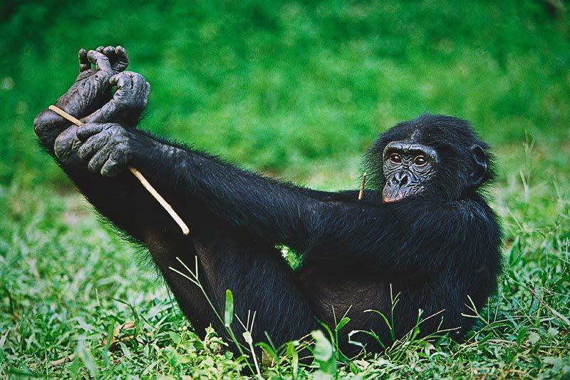 Donde vive el bonobo