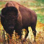 ¿Dónde vive el búfalo?