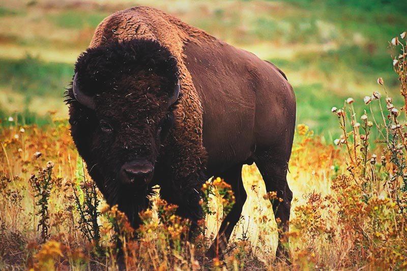 Donde vive el bufalo