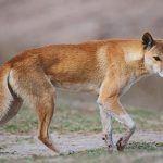 ¿Dónde vive el dingo?