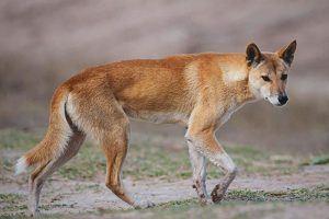 Donde vive el dingo