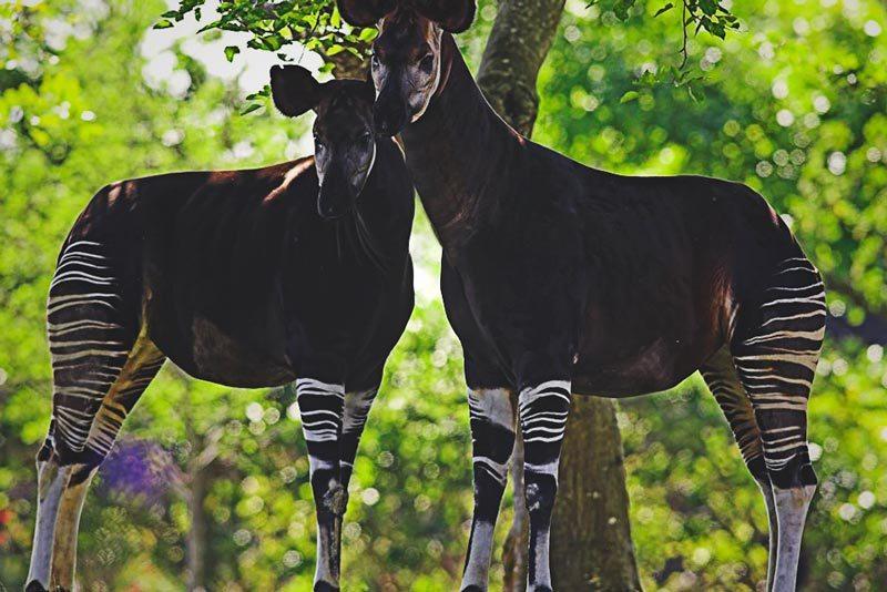 Donde vive el okapi