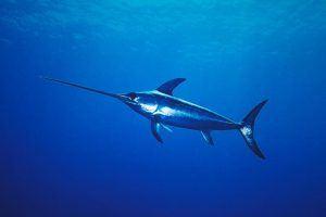Donde vive el pez espada