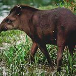 ¿Dónde vive el tapir?