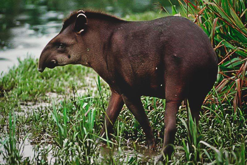 Donde vive el tapir