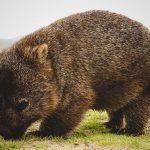 ¿Dónde vive el wombat?