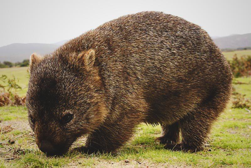 Donde vive el wombat