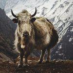 ¿Dónde vive el yak?