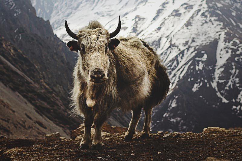 Donde vive el yak