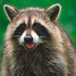 ¿Dónde viven los mapaches?