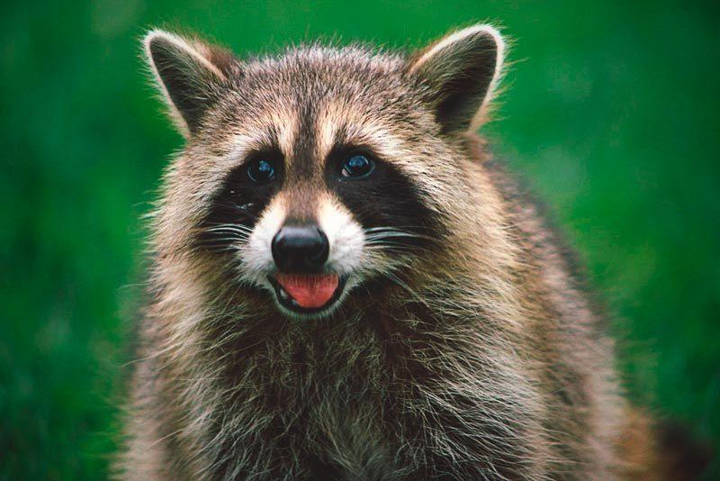 ¿Dónde vive el mapache?
