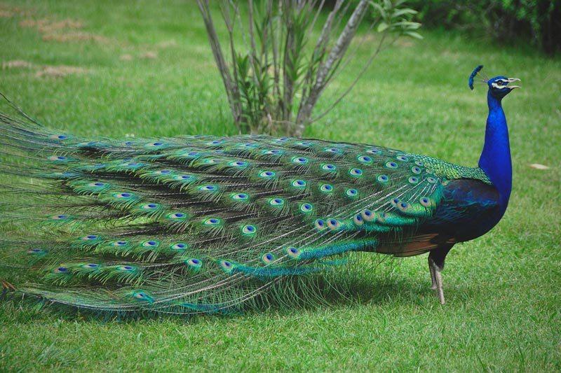 D nde vive el pavo real - Fotos de un pavo real ...