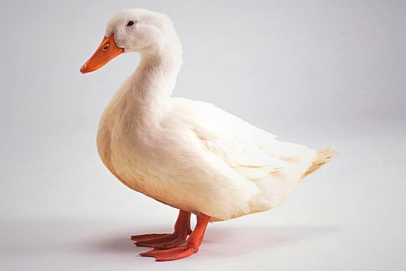 ▷¿Dónde viven los patos? ✓ 【Actualizado 2018】