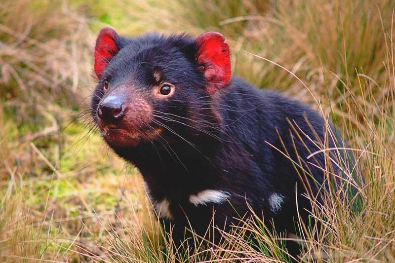 ¿Dónde vive el demonio de Tasmania?