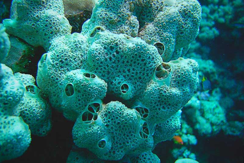 Esponjas de mar reproduccion asexual de las plantas