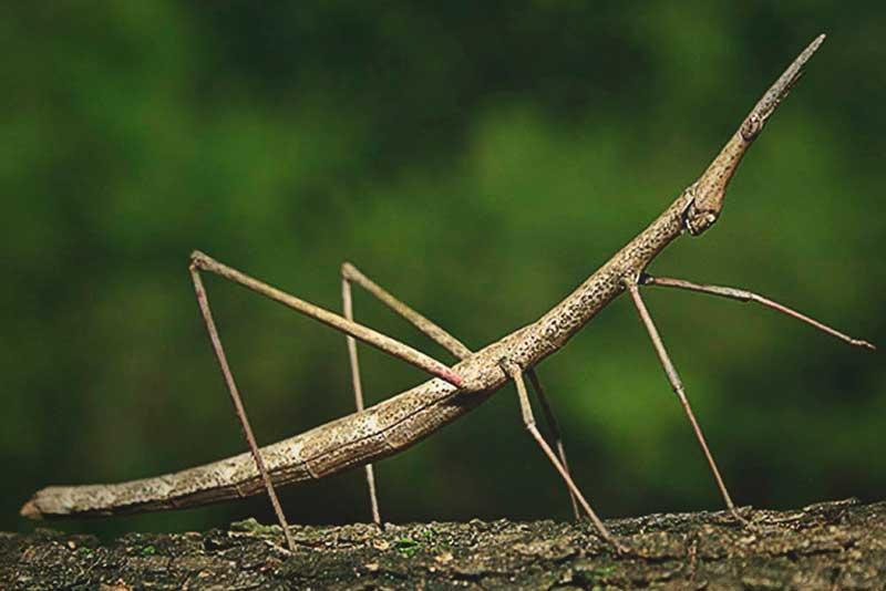 ¿Dónde vive el insecto palo?