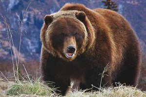 ¿Dónde vive el oso pardo?