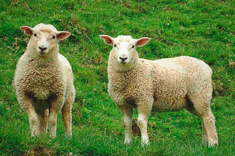 ¿Dónde vive la oveja?