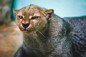 ¿Dónde vive el jaguarondi?