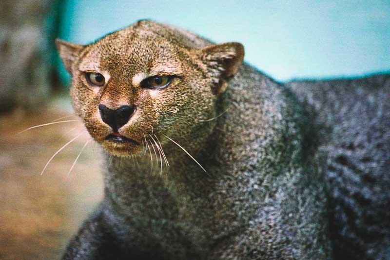 ¿Dónde vive el jaguarundi?
